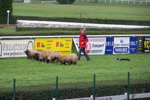 Ukázka práce border collie se stádem ovcí
